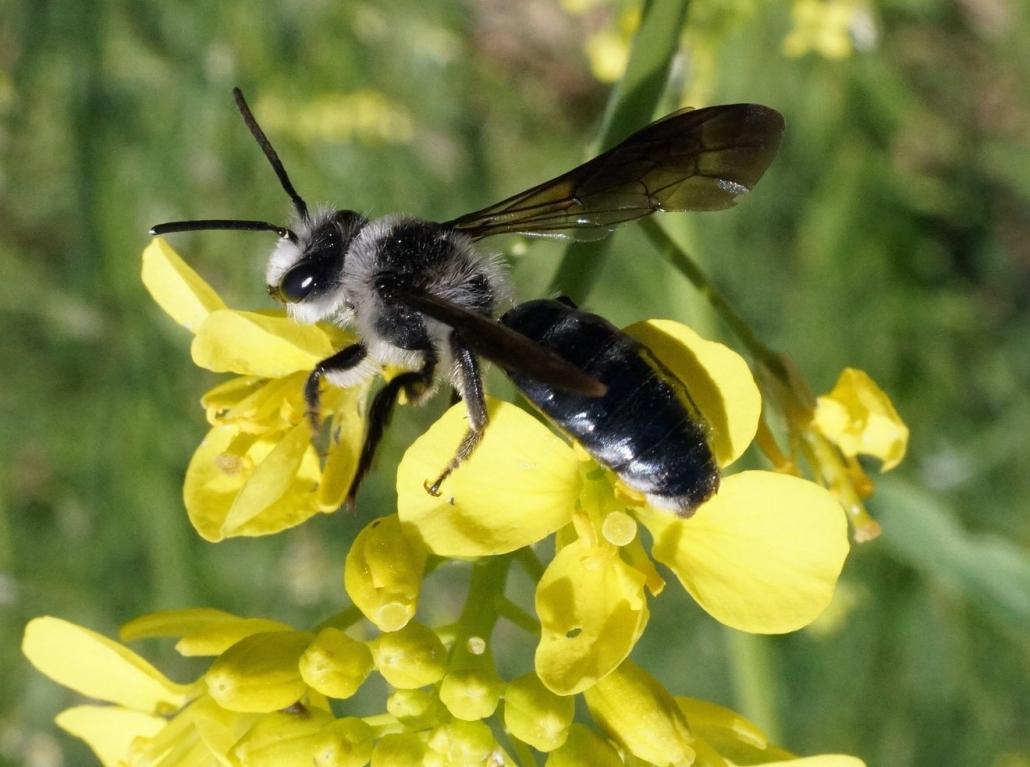 Blühende Naturparke – Die Wildbienen des Jahres 2019