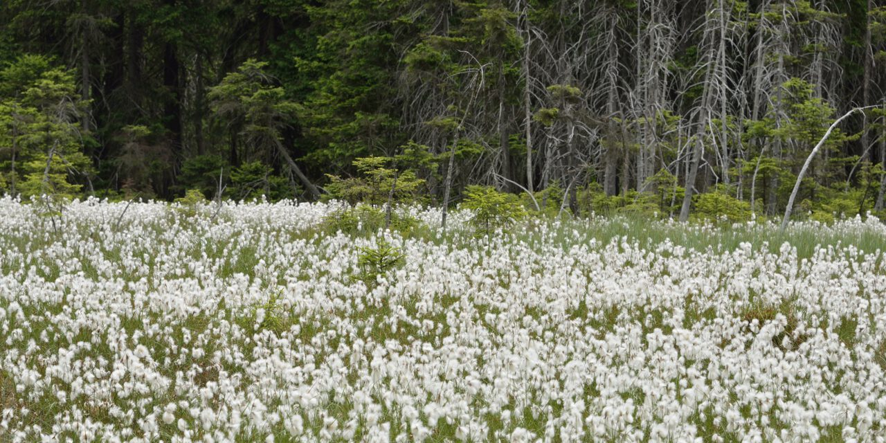 Waldmoore ganz in Weiß